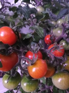 Pomidorai Vilma
